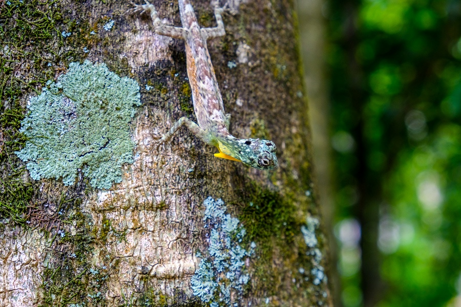 Lizard on a tree at the Tangkoko Nature Reserve in Sulawesi, Indonesia