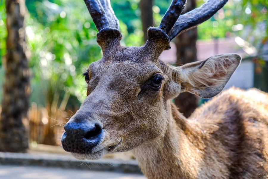 The face of a Javan Rusa deer with big antlers at the Bali Zoo