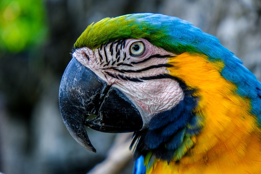 The colorful face of a blue and yellow parrot at the Bali Zoo