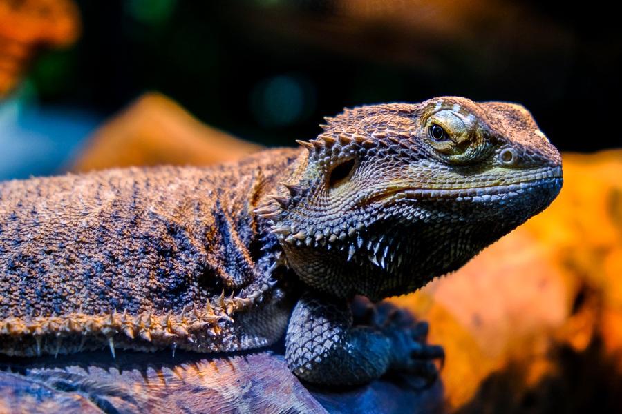Angry lizard at the Bali Zoo