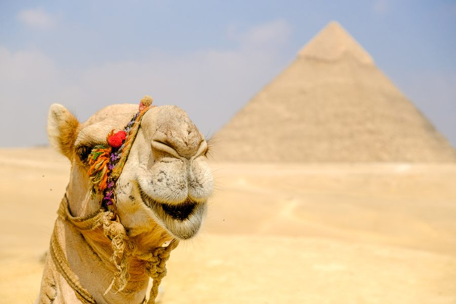 Camel face at the Great Pyramids of Giza in Egypt