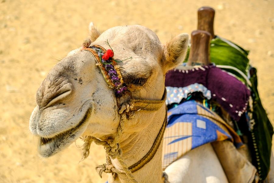 Camel resting in Egypt