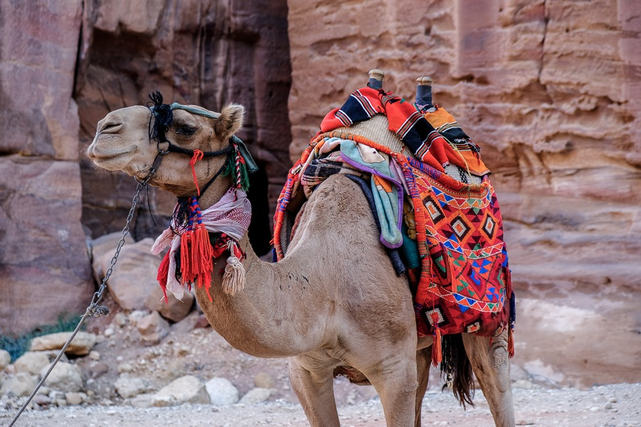 Pet camel wearing a saddle near Petra, Jordan