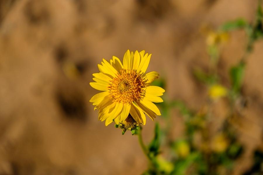 Flower near the monastery in Petra, Jordan