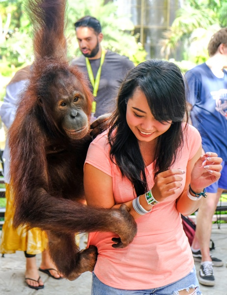 My woman being teased by an orangutan at the Bali Zoo