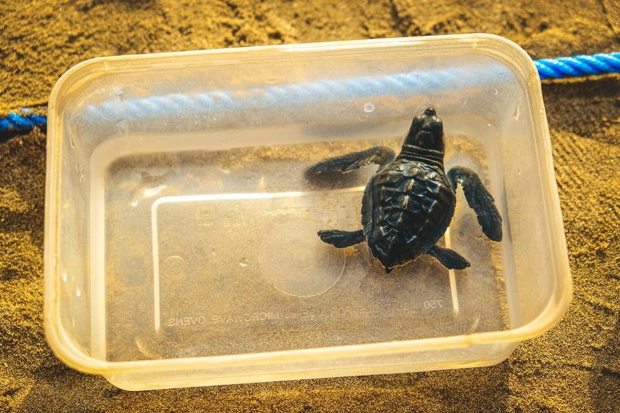 Baby Sea Turtle Release in Kuta Beach, Bali