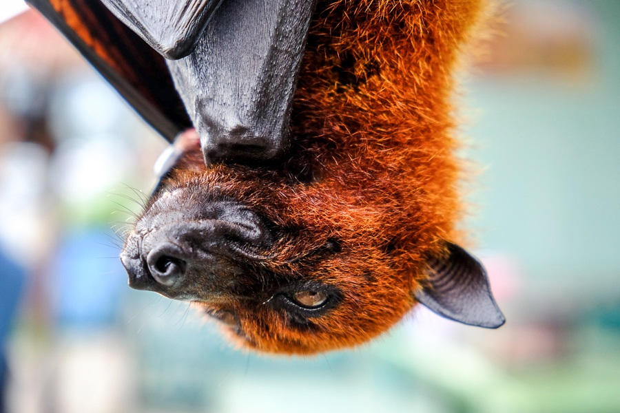 Flying fox bat at the Alas Kedaton monkey forest in Bali