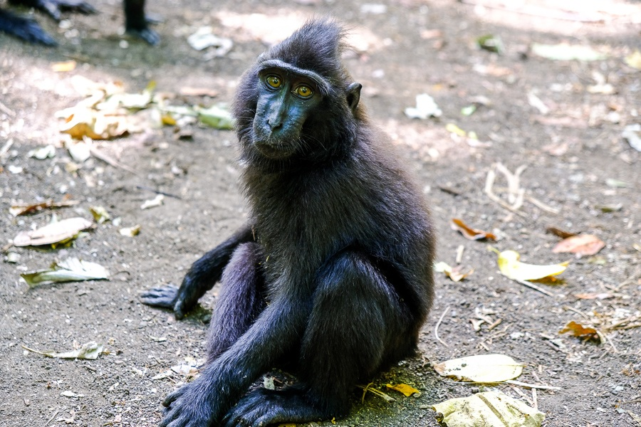 Monkey at the Tangkoko Nature Reserve in Sulawesi, Indonesia
