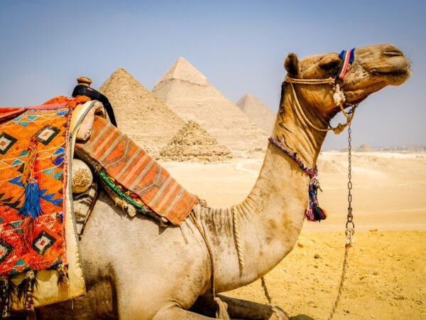 Camel posing at the Great Pyramids of Giza in Egypt