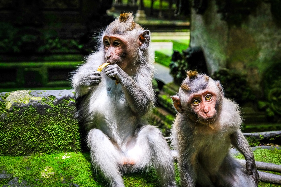 Sangeh monkeys in Bali