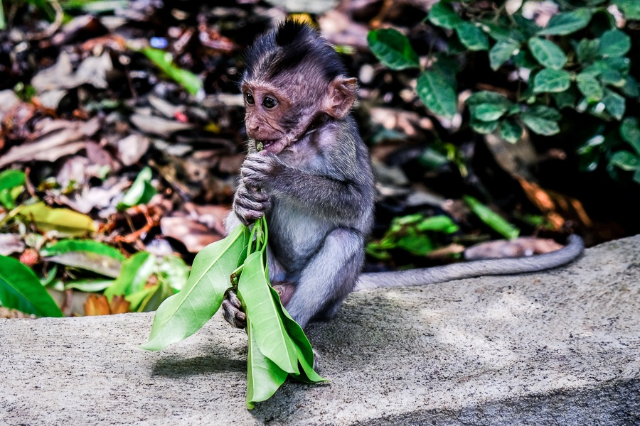 Baby monkey at the Ubud Monkey Forest in Bali
