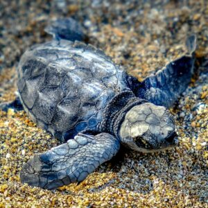 Baby Sea Turtle Release in Kuta Beach, Bali