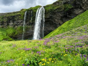 Seljalandsfoss Waterfall and wildflowers in Iceland