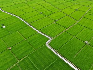 Drone view of green rice fields at Sanur, Denpasar in Bali