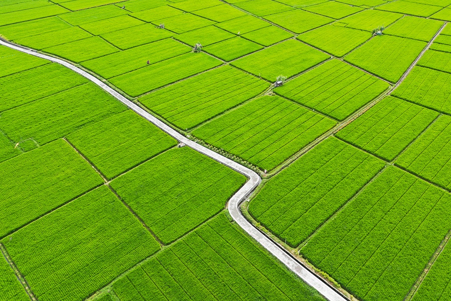 Drone view of Sanur rice fields in Bali