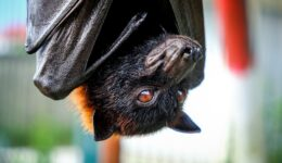 Flying fox bat at the Alas Kedaton monkey forest in Bali