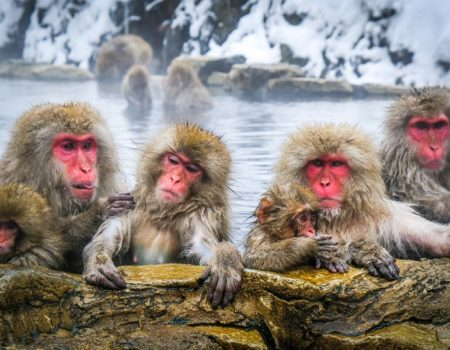Snow monkeys bathing in a hot spring at Jigokudani Monkey Park in Nagano Japan