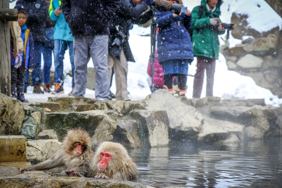 Tourists watch monkeys in a hot spring at Jigokudani Monkey Park in Nagano Japan