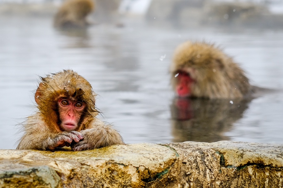 Baby snow monkey bathing in a hot spring at Jigokudani Monkey Park in Nagano Japan