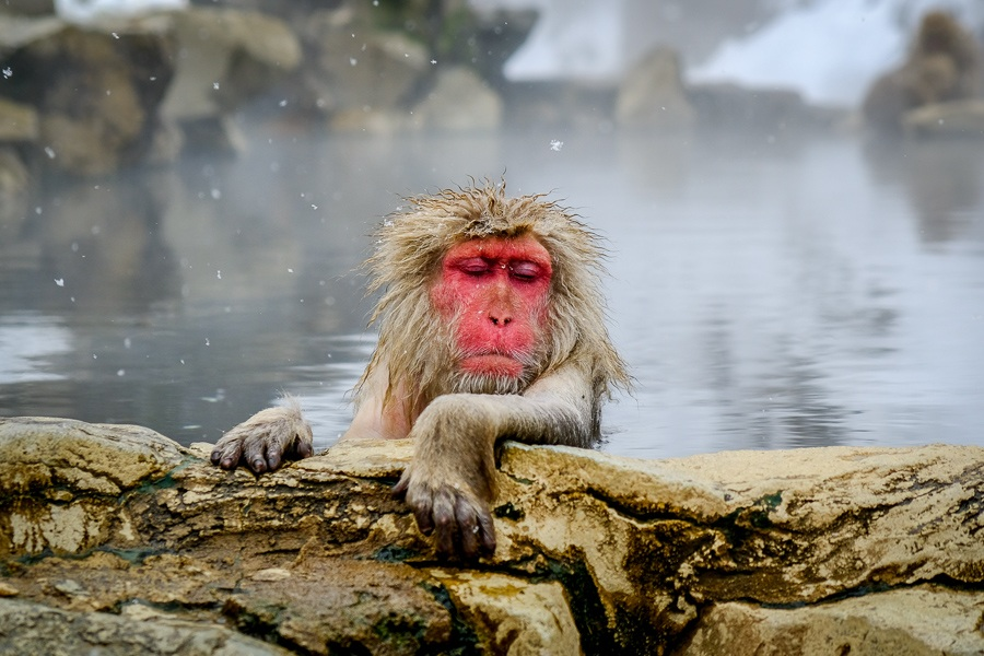 Old grandpa snow monkey bathing in a hot spring at Jigokudani Monkey Park in Nagano Japan