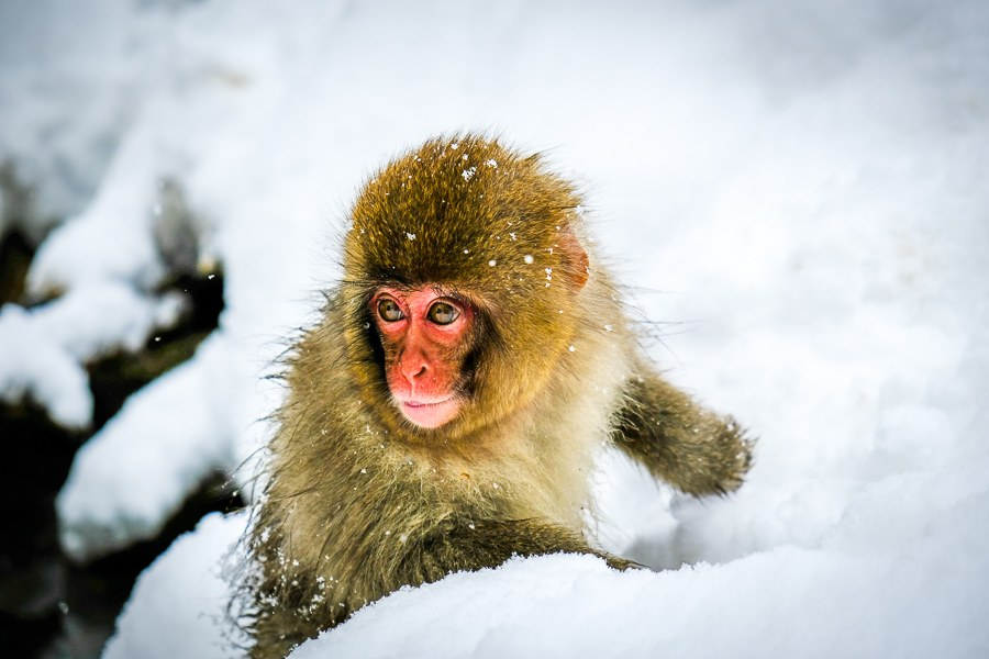 Baby snow monkey playing in the snow at Jigokudani Monkey Park in Nagano Japan