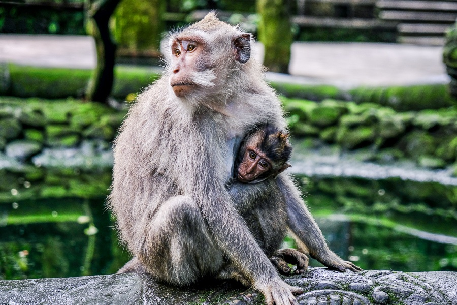 Monkeys at the Ubud Monkey Forest in Bali