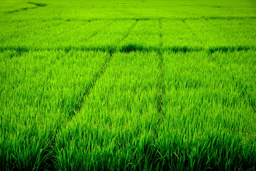 Green rice fields at Sanur, Denpasar in Bali