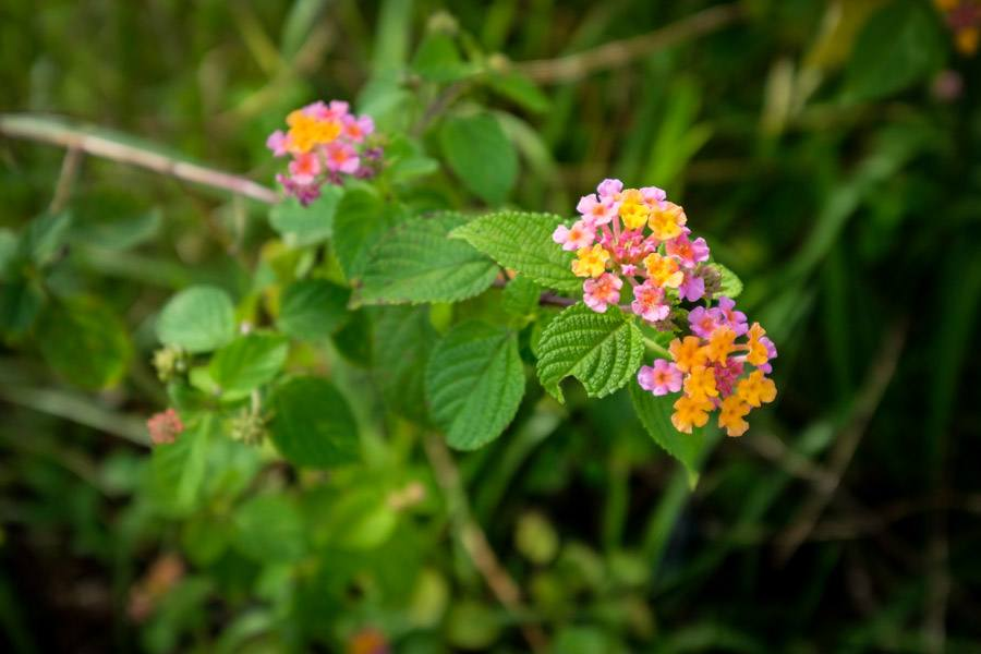 Colorful flowers at Bukit Teletubbies Hill in Nusa Penida Bali