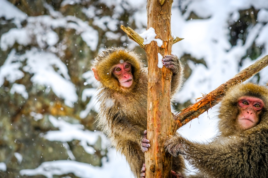 Monkeys climbing in a tree at Jigokudani Monkey Park in Nagano Japan