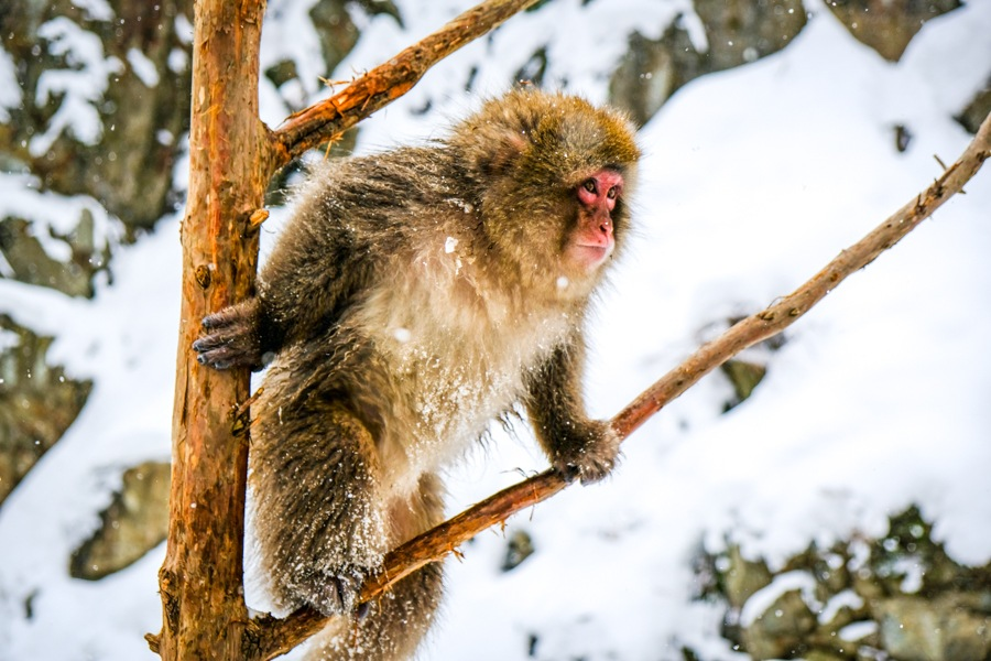 Monkey climbing in a tree at Jigokudani Monkey Park in Nagano Japan