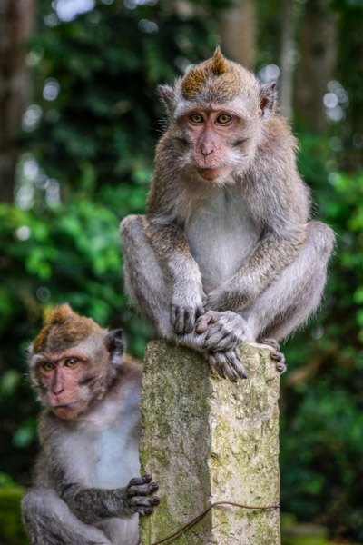 Bali monkeys at the Ubud Sacred Monkey Forest Sanctuary