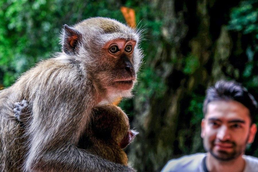 Batu Caves temple monkey in Malaysia