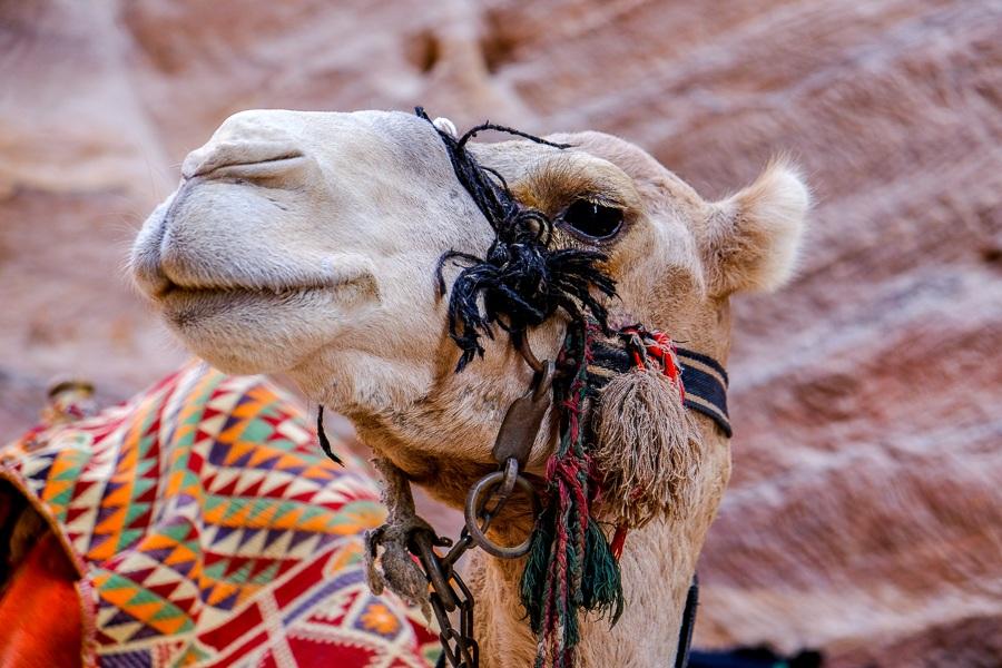 Camel face at Petra, Jordan