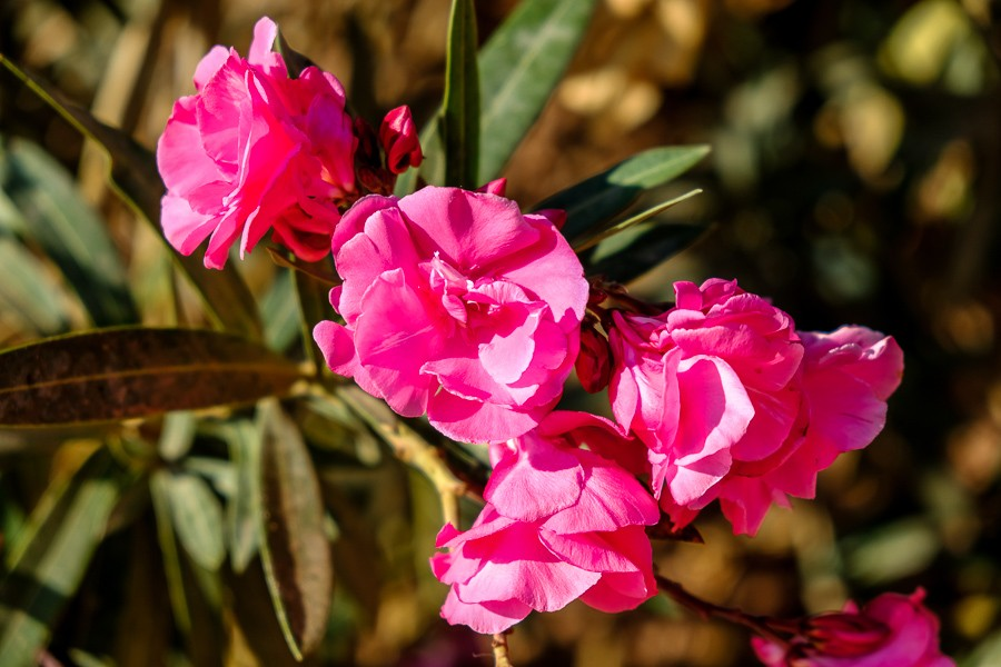 Pink roses by the Monastery in Petra, Jordan