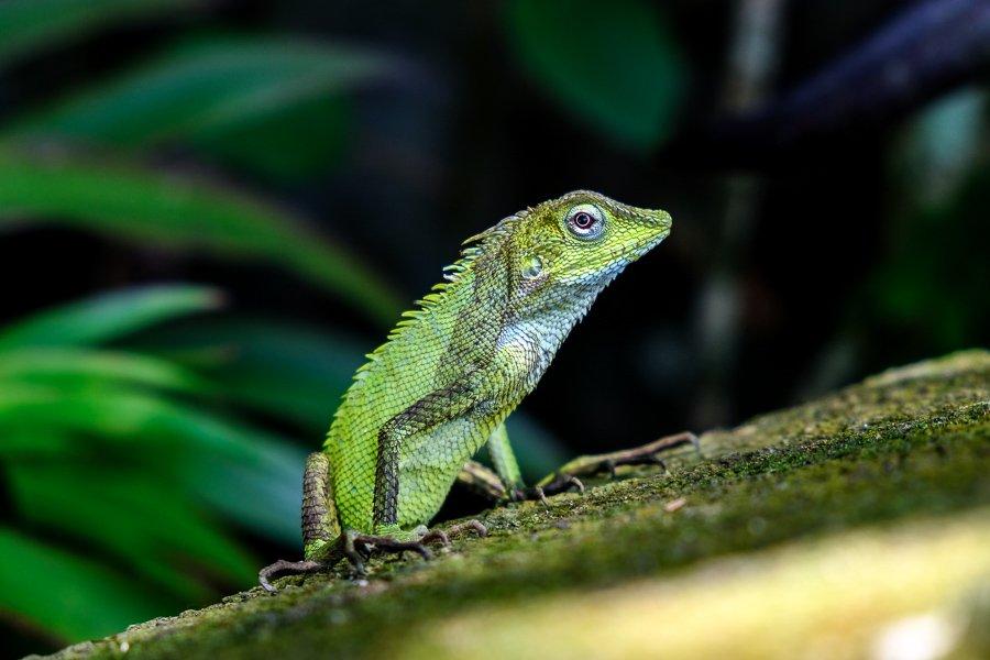 Green Bali lizard