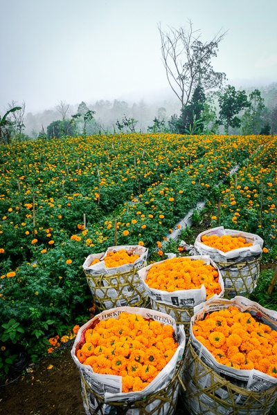 Marigold flower fields and baskets in Bali