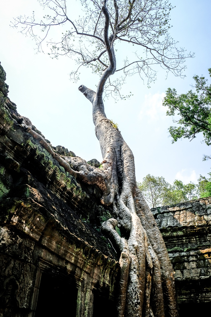 Tree at the Ta Prohm Temple Ruins in Angkor Wat, Cambodia