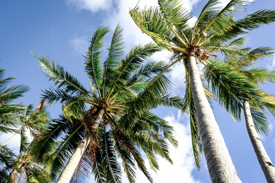 Palm trees on Pinagbuyutan Island