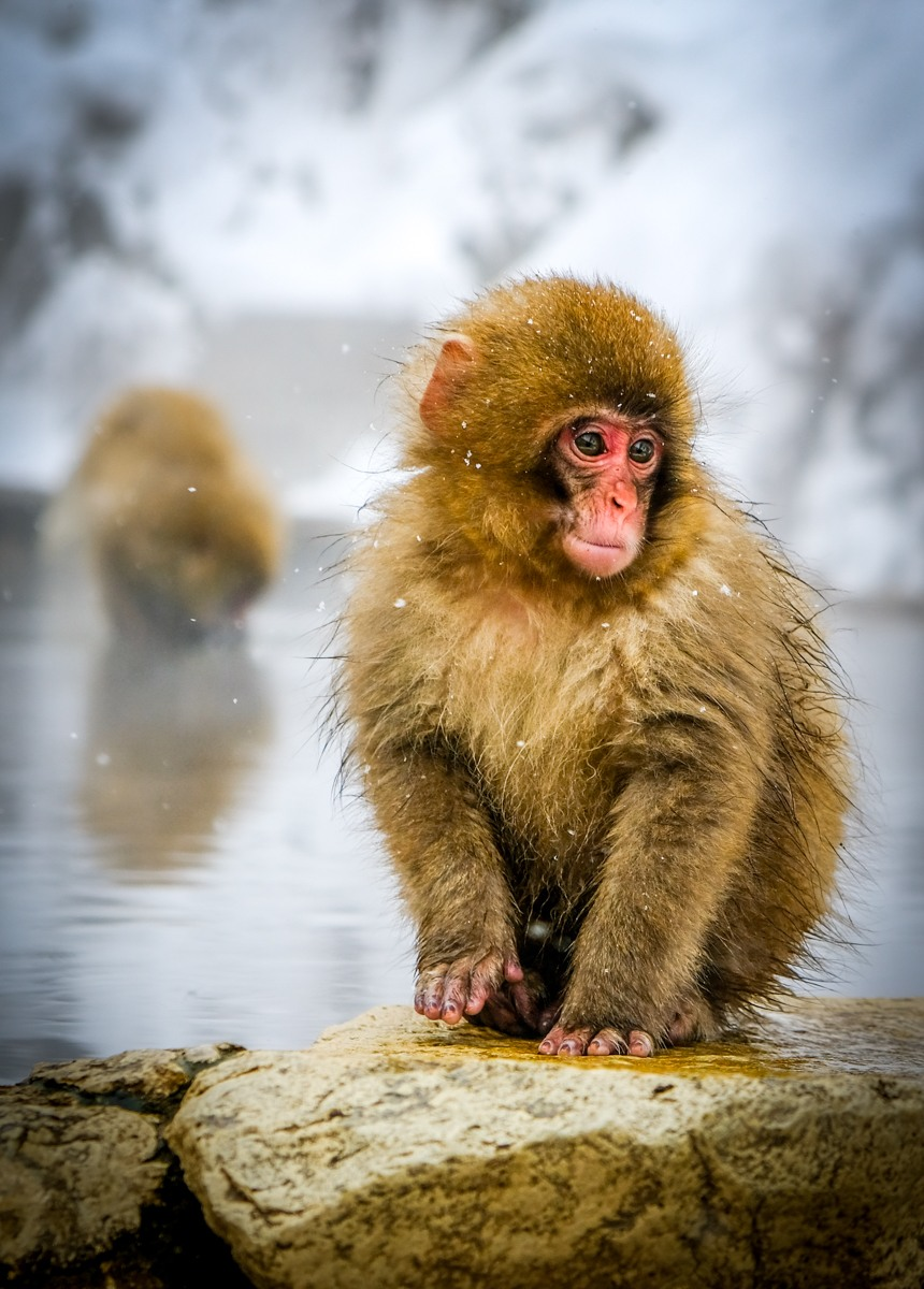 Baby snow monkey sitting by a hot spring at Jigokudani Monkey Park in Nagano Japan