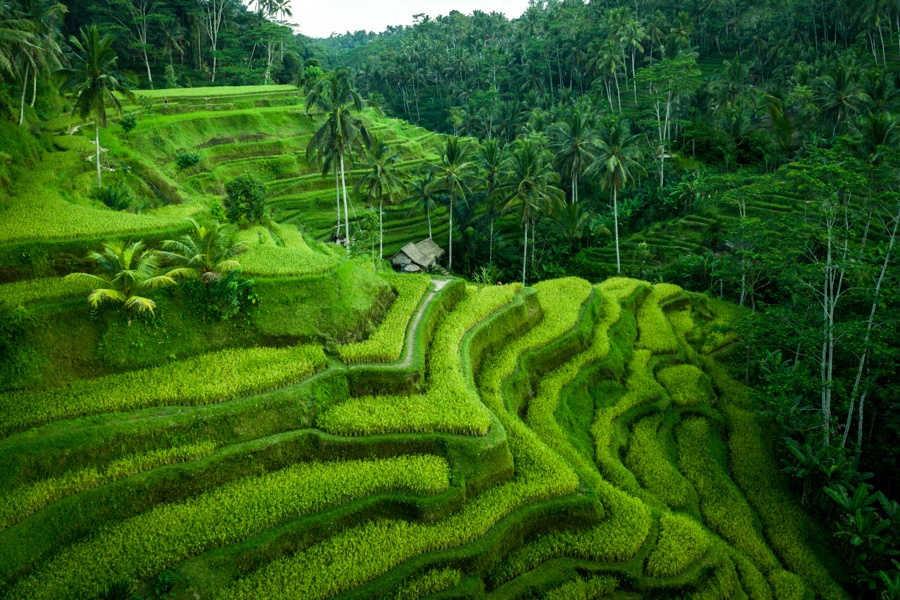 Drone view of the green Tegalalang Rice Terrace near Ubud, Bali