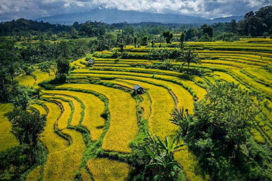 Drone view of yellow rice terraces in Sidemen, Bali