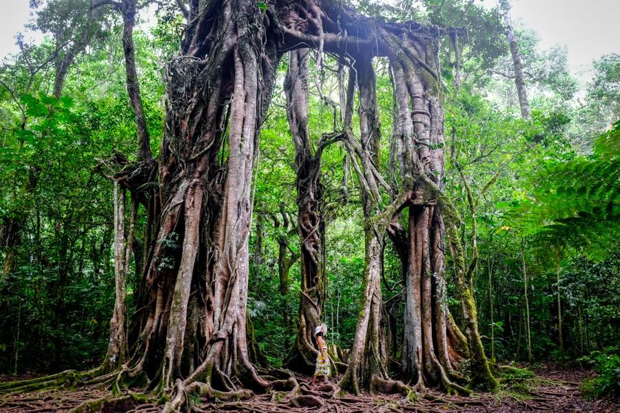 Giant banyan tree at the Bali Botanical Garden in Bedugul