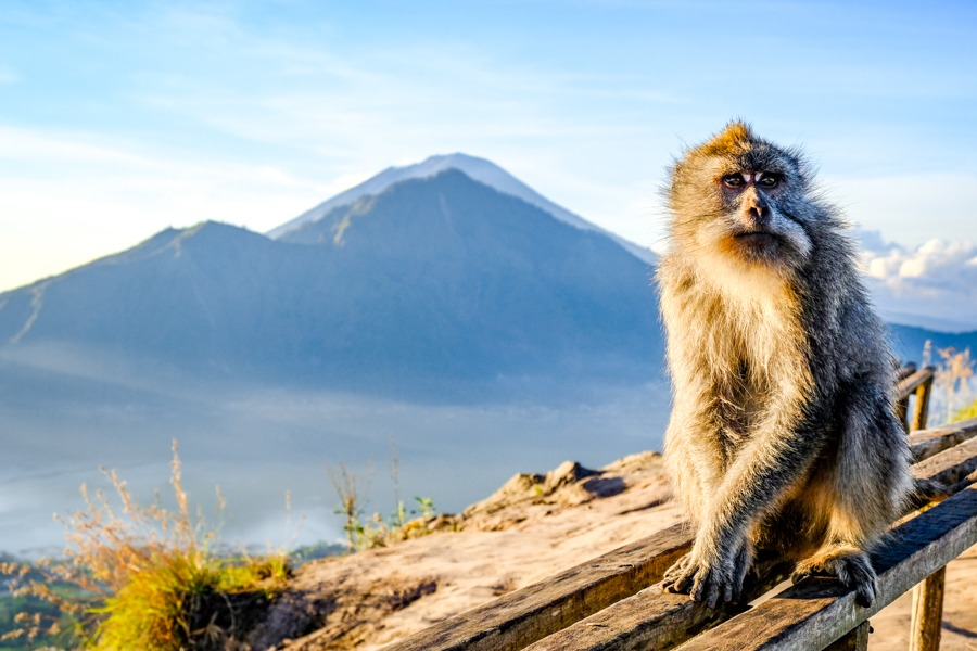 Kintamani monkey on Mount Batur in Bali