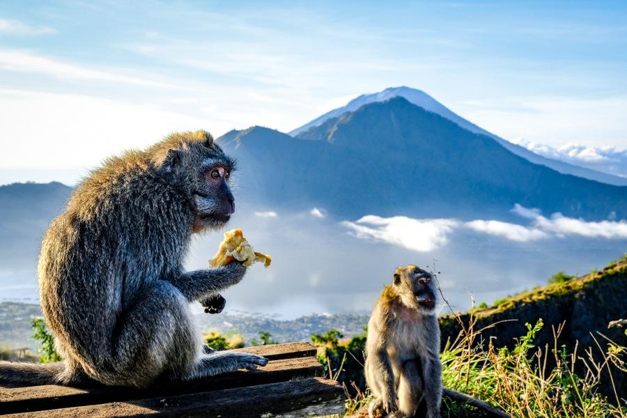 Monkeys at Gunung Batur