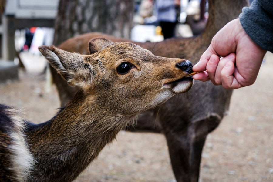 Feeding a Nara Deer in Japan