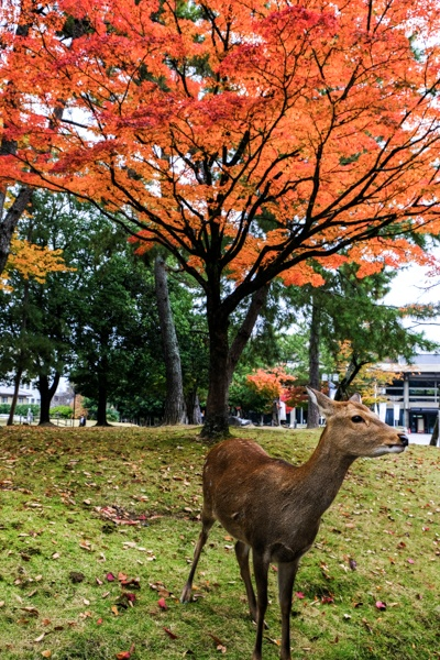 Nara deer and fall colors