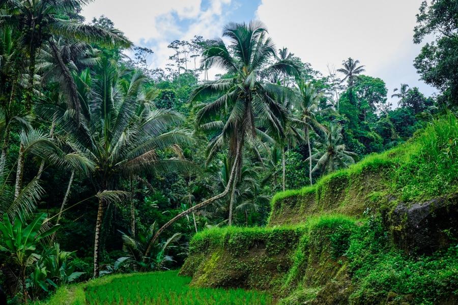 Rice terraces at Gunung Kawi in Bali