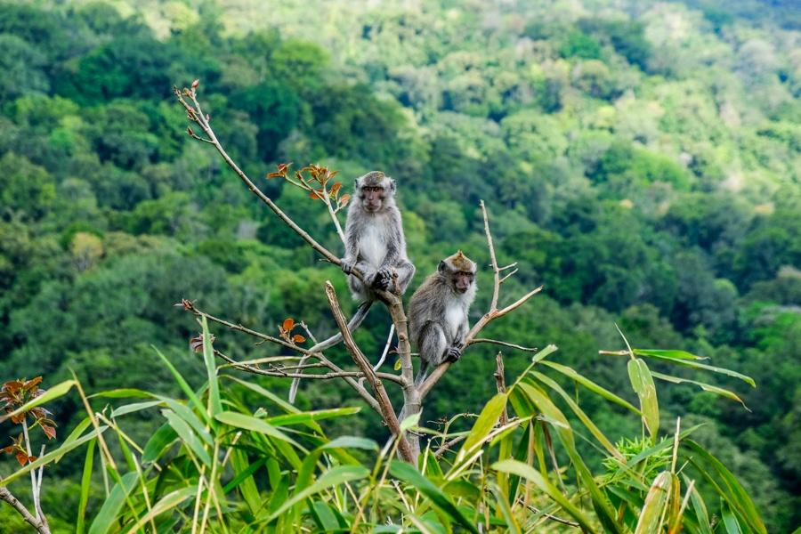 Monkeys in Munduk Bali