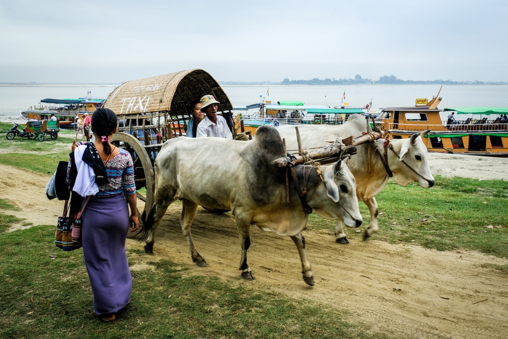 Taxi cart with cattle near the Irrawaddy River ferry