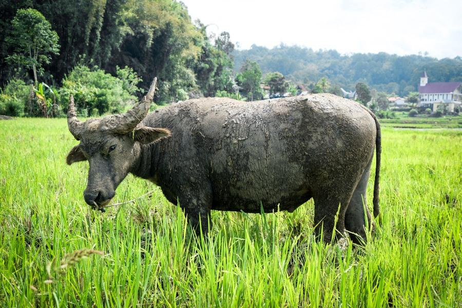 Toraja water buffalo